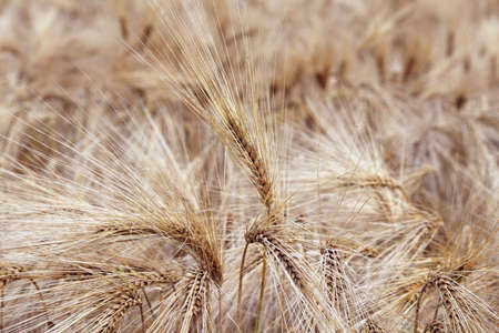 coeliac: amazing background of ripe wheat ears in the cultivated field in summer Stock Photo