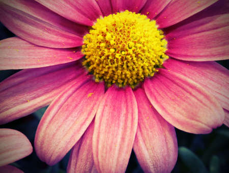 macr: macro of big pink daisy with effect vintage