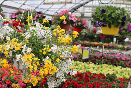 Lots of flowers for sale in the florist's greenhouse in the spring Imagens