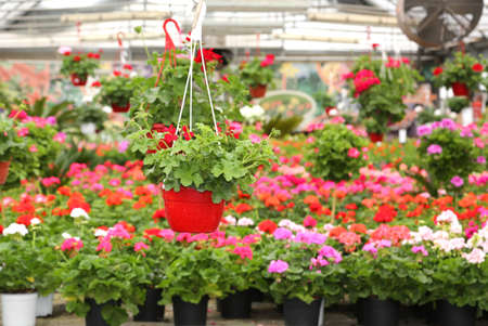 Flowers and many geraniums for sale in the florists greenhouse in the spring Stock Photo