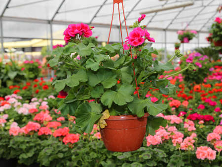 Large vase with flowers geraniums for sale in the greenhouse Stock Photo