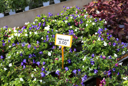 for sale torenia flowers in spring in the greenhouse