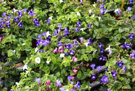 background of torenia flowers in spring Stock Photo