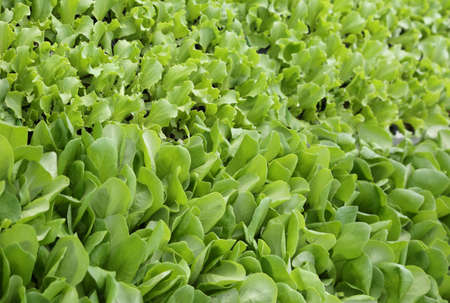 agri: background of green leaves of tender fresh lettuce for sale in the farm that produces organic and healthy foods Stock Photo