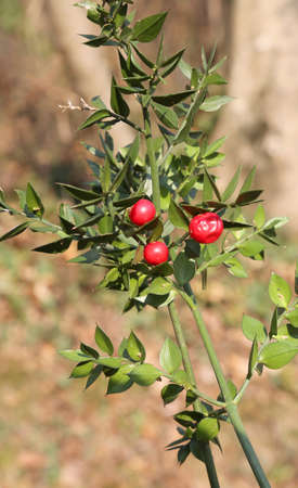 aculeatus plant with three red berries in winter Stock Photo