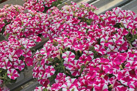 witte en roze petunia-bloemen te koop in de kas