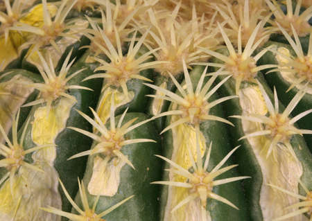 background of thorny cactus with sharp needles