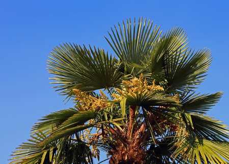 Lush palm tree with dates in the tropical country in summer and blue sky