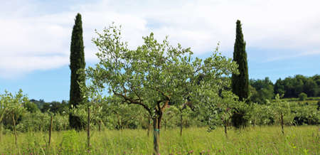 olive trees planted in the italian Tuscan countryside Banco de Imagens