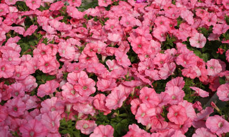 backgrounds of many pink petunia flowers in spring