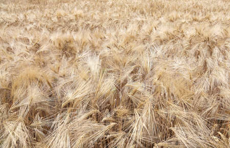 coeliac: background of ripe wheat ears in the cultivated field in summer