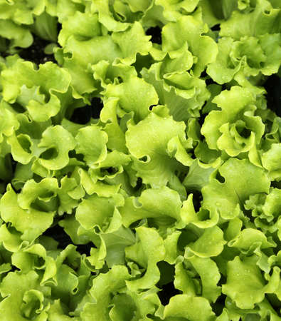 lactuca: background of green leaves of tender fresh lettuce for sale in the farm that produces organic and healthy foods without using pesticides