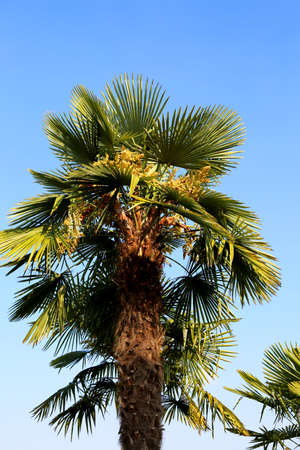 big palm tree with dates in the tropical country in summer with blue sky Stock Photo