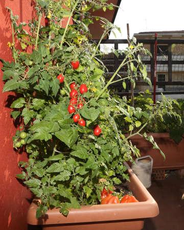 El cultivo de tomates en los jarrones de un jardín urbano en la terraza de un apartamento en la ciudad Foto de archivo - 79142812