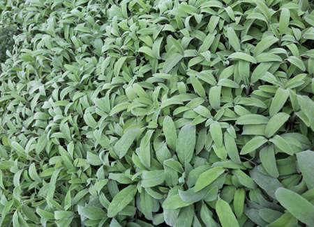 현자의 큰 녹색 잎. 세이지는 이탈리아 요리에 주로 사용되는 많은 요리를 맛볼 수있는 아로마 허브입니다. 스톡 콘텐츠