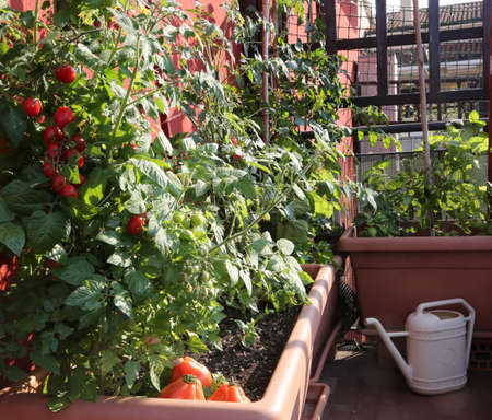 Tomato cultivation in the vases of an urban garden on the terrace of an apartment