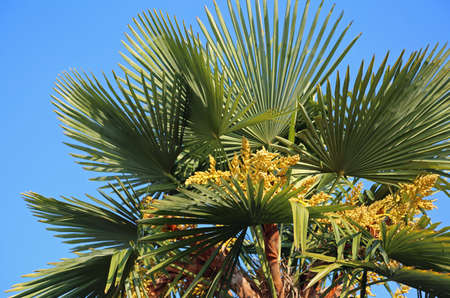 Lush palm tree with dates in the tropical country in summer Stock Photo