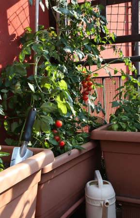 Tomato cultivation in the vases of an urban garden on the terrace in the city Stock Photo