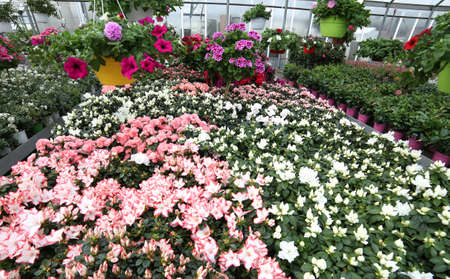 Inside a very large and well-stocked greenhouse with beautiful flowers and plants for sale in the spring