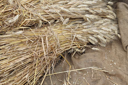 coeliac: Mature ears of wheat on a background of raw jute fabric