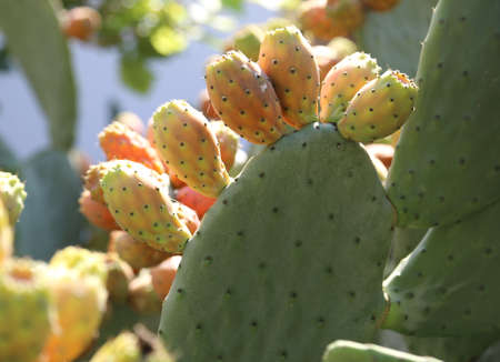 Ripe figs of India with cactus plant