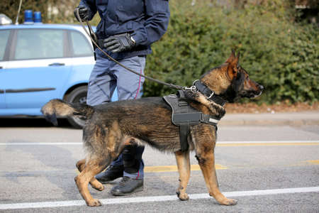 Dog Canine Unit of the police called K-9 to identify the explosives during an anti-terrorist operation and the police car Stock Photo