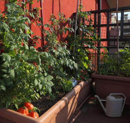 Cultivo de tomate en los jarrones de un jardín urbano en la terraza de la ciudad Foto de archivo - 81940750