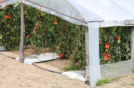 greenhouse for the cultivation of red tomatoes in a Mediterranean country
