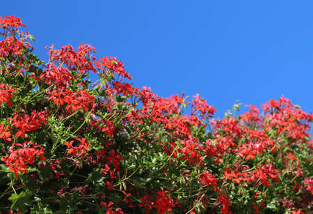many flowers of geraniums and blue sky on background Stock Photo