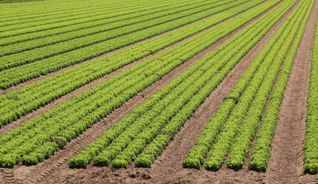 cultivated lettuce field in an intensive farming plantation