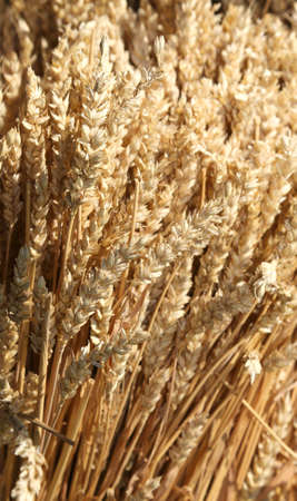 background of ripe freshly harvested wheat ears Banque d'images