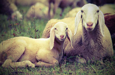 lamb with his mother in the middle of the flock of sheep with vintage effect