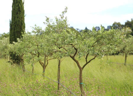 tuscan landscape with many green olive trees at countryside