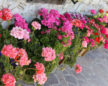 courtyard of the house decorated with so many geraniums in a row
