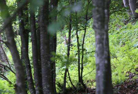 scared chamois in the forest in mountains
