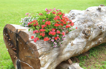 beautiful geraniums inside the large trunk of tree used as a flower pot in the mountains