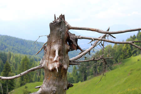 dry tree dead in the mountains after being struck by a lightning strike Stock Photo