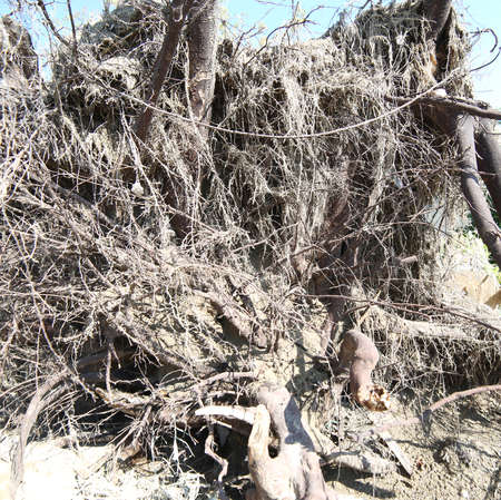 roots of a wind-rooted tree after the hurricane on the sandy ground Stock Photo