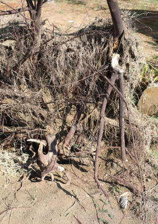 so many roots of an uprooted tree on the sandy ground