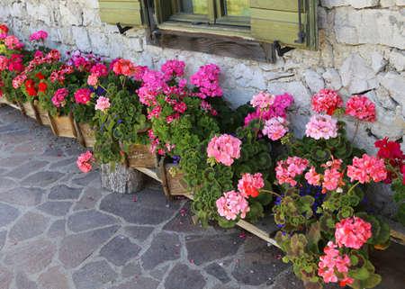 Garten des Hauses mit vielen Geranien in einer Reihe dekoriert
