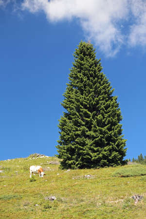 mountain landscape with a grazing cow and big green fir