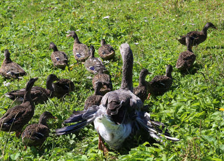 Mum duck saves her little ducklings in the outdoor farm
