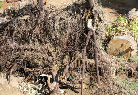so many roots of a wind-rooted tree after the hurricane on the sandy ground