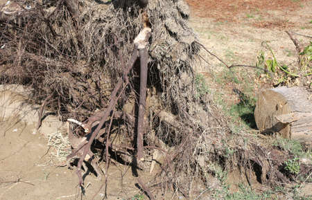 roots of a tree uprooted by the wind after the hurricane on sandy soil