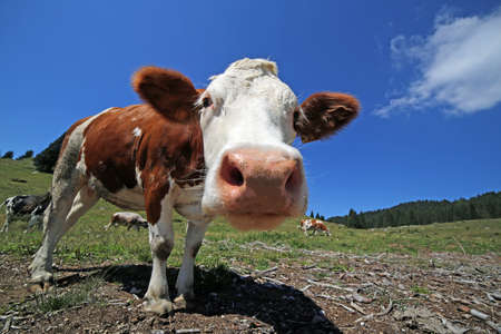 domestication: curious large cow in the mountains photographed with fisheye lens