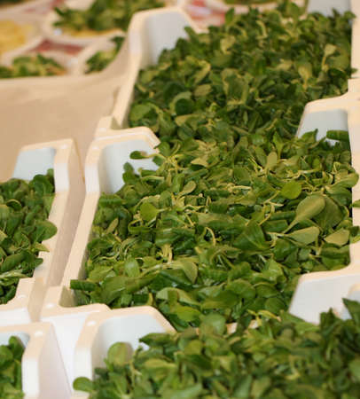fresh green rucola pans freshly picked in a organic cultivation field