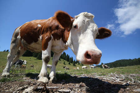 curiousness: curious big cow in the mountains photographed with fisheye lens
