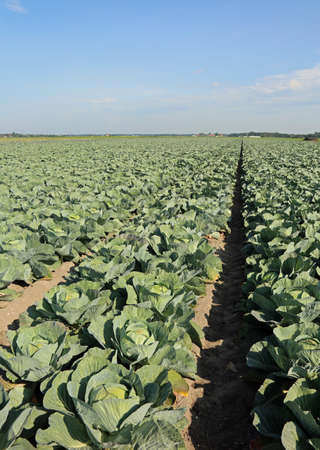 ample: ripe green cabbages in a very fertile field with sandy soil in summer