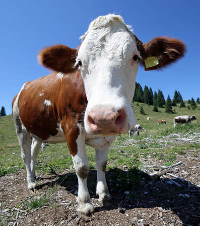 curious large cow in the mountains photographed with fisheye lens