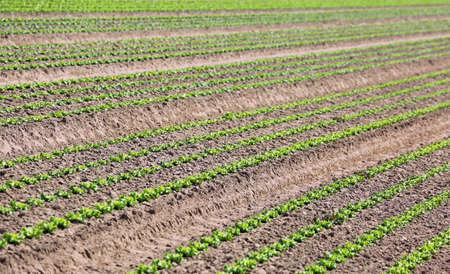 Intensive cultivation of green lettuce growing in sandy soil Reklamní fotografie